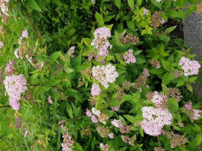 この花の名前を教えていただけますか? フジバカマではなさそうですが、蝶がたくさんきていました。