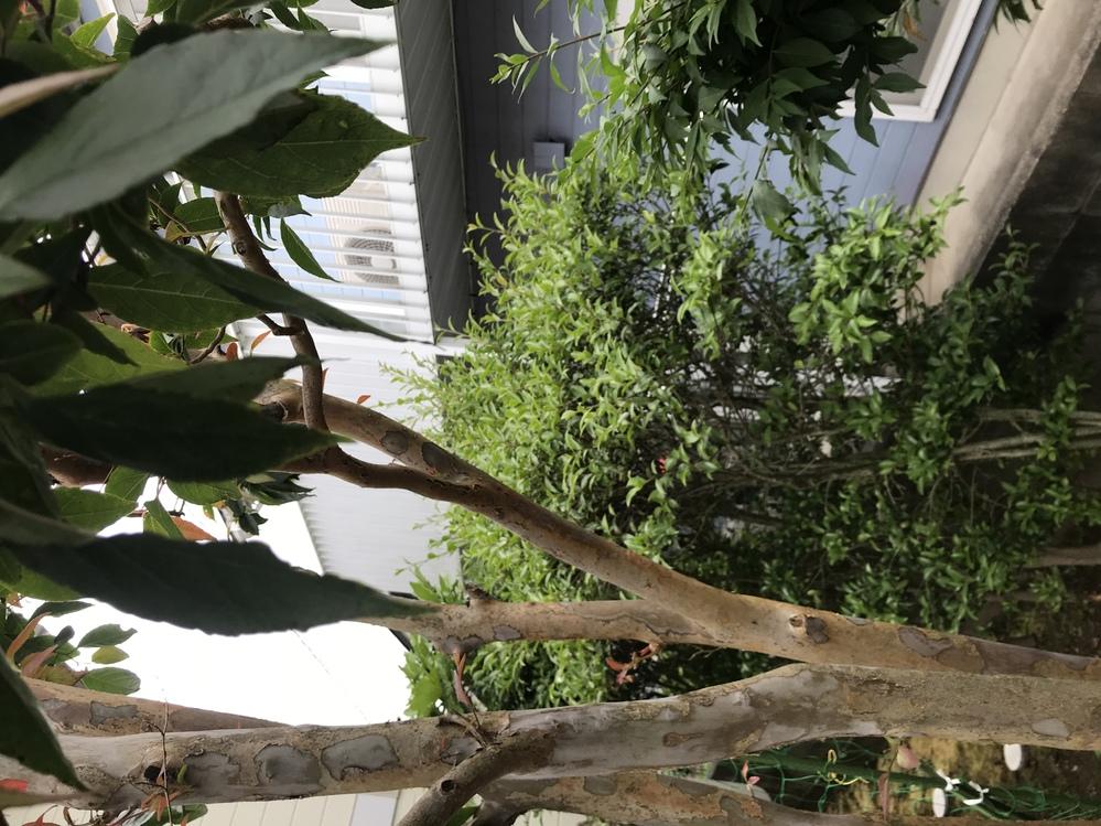 皆さんのお知恵をお貸しください。 この樹木はなんでしょうか? ヒメシャラににてるのですがちがいます。 もちろんサルスベリでもないです。 切られて新芽がでてきているのですが 新芽が濃い紅色をしています そしてこの木は落葉です。 皆さん教えてくださいm(__)m