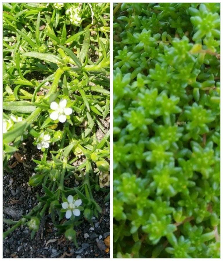この二種類の植物の名前を教えて下さい。 片方は多肉植物だと思います。 触っただけで簡単にポロポロ落ちて落ちた所から増えて行きます。