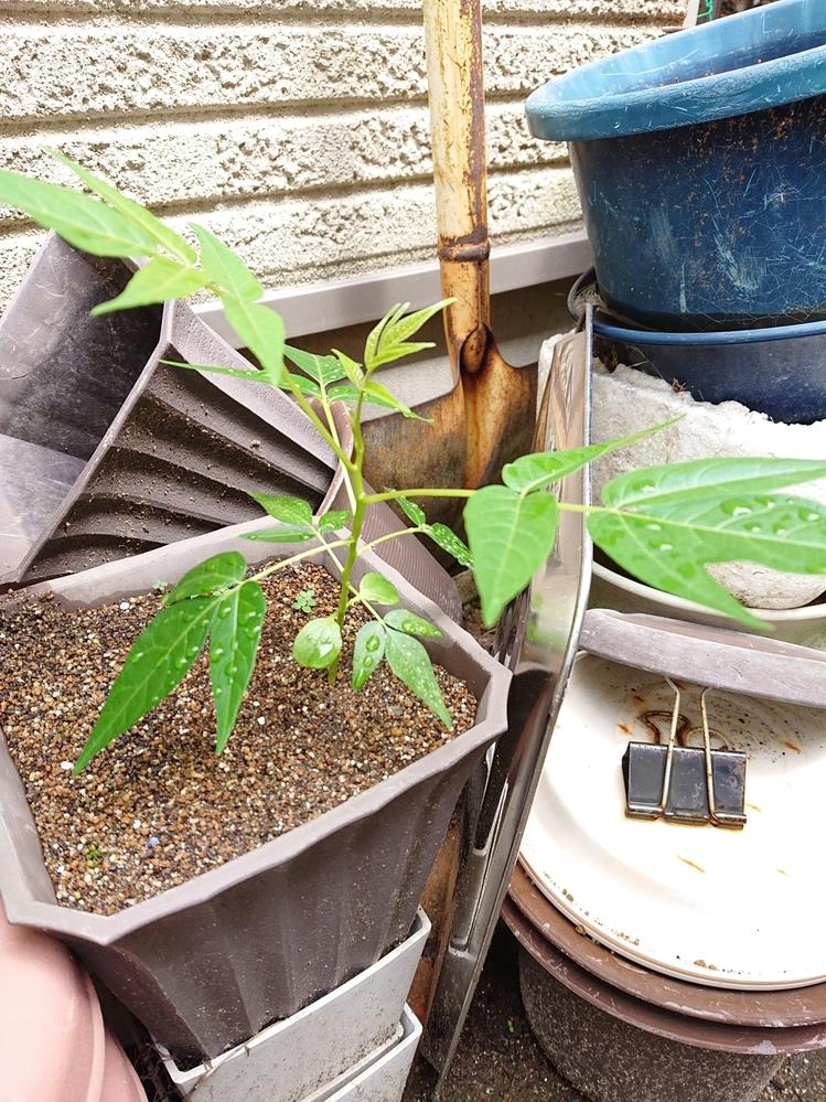 休眠中の鉢から雑草っぽくない植物が生えてきました。 なんという植物なのでしょうか? ちょっと立派な感じで生えてるので、雑草じゃなければ、このまま育ててみようと思ってます。