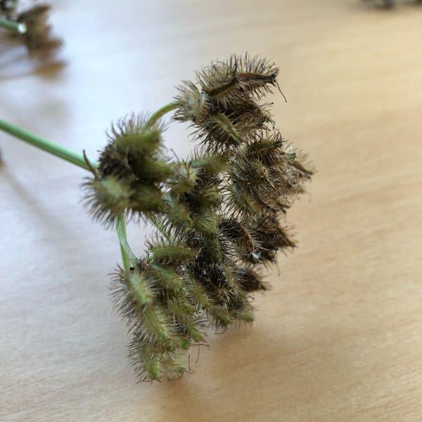 オルレアの種について教えてください。 花壇を整理したかったので、一部のオルレアを抜いたのですが、まだ少し緑っぽい種はこのまま自宅で吊るして乾燥させれば茶色くなり種として撒けますでしょうか