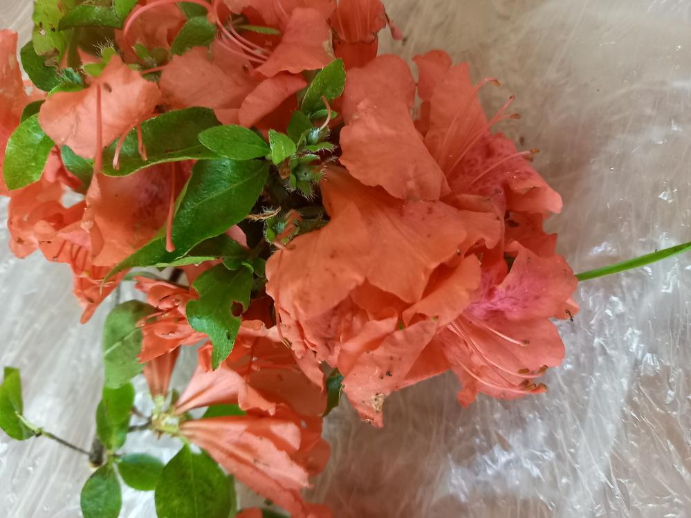 薬草取りに行ってきました これは毒性のあるレンゲツツジですか? 写真よりも実際に見るとピンクです それと毒性のものを入れた同じ袋に入った他の葉は使えませんか?