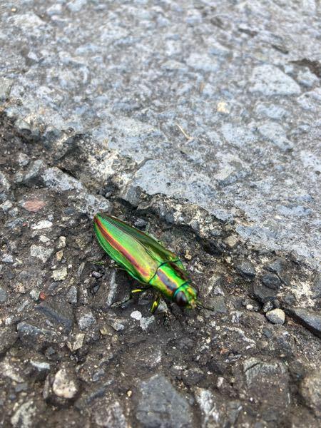 この虫はなんていう虫ですか?! 宜しくお願いします!