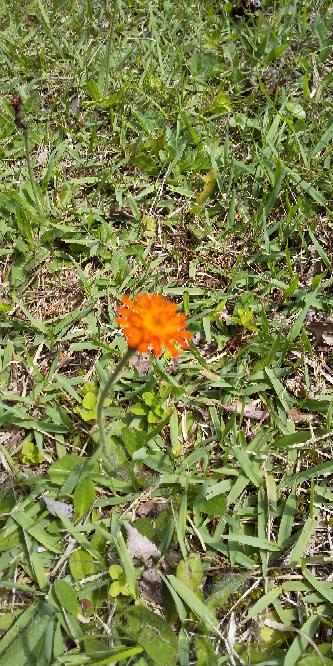 この花はなんでしょう、小さな花で花が終わるとワタゲになります。芝の上に増えて来ました。