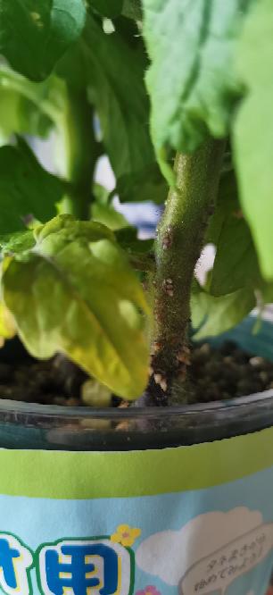 このトマトの茎のトゲトゲってなんですか?