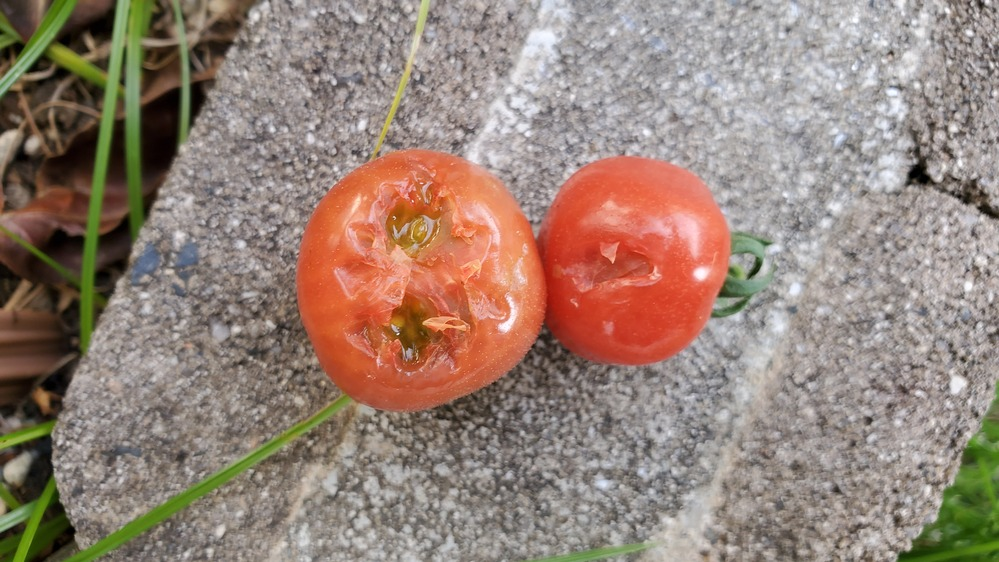 トマトがうまくできたと思ったらこのように食べられることが多く悩んでいます。 これは鳥でしょうか?虫とかでしょうか? 何か対策はあるのでしょうか。 庭でこじんまりと家庭菜園してる初心者ですので簡単にできる対策があれば教えていただきたいです。