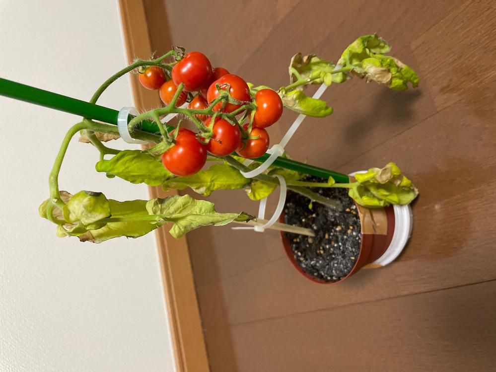 一昨日から葉っぱがシナシナになってしまいました。水は乾いていたらあげるようにしていて一昨日は水を少しあげたばかりでした。 トマトはこのまま成長がストップして美味しくはいただけないのでしょうか?