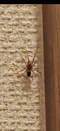 これはイトグモの類ですか?放っておいたら危険ですか? 体長は1センチもないと思いますが、脚まで入れたら2,3センチあります。 分かる方いたら教えてください!