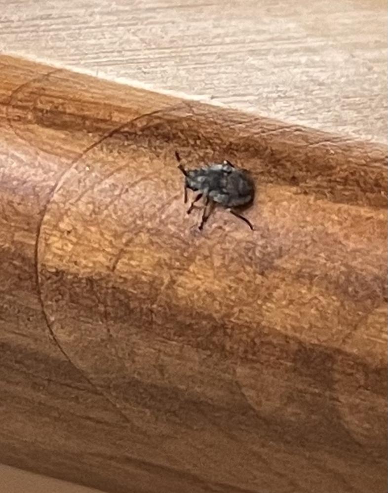 部屋中に小さな虫が多数発生してます。 何度駆除しても気がつくと、また歩き回っている状況で困っています。 何の虫なのかと、駆除方法を教えてください