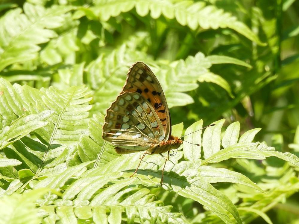 ギンボシヒョウモンとツマグロヒョウモンの雄との違いを教えて下さい。この画像はギンボシヒョウモンでしょうか?それとも別の蝶でしょうか? よろしくお願いいたします。