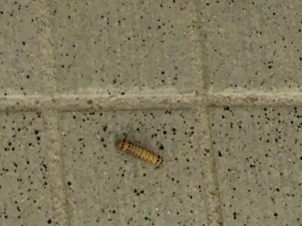 この毛虫は何ですか? 毎年この時期にマンションに大量発生します。 マンションには小さい子供も多いので、管理組合に対策をお願いしてますが、動いてくれません。 刺された場合の危険性などを説明したいです。