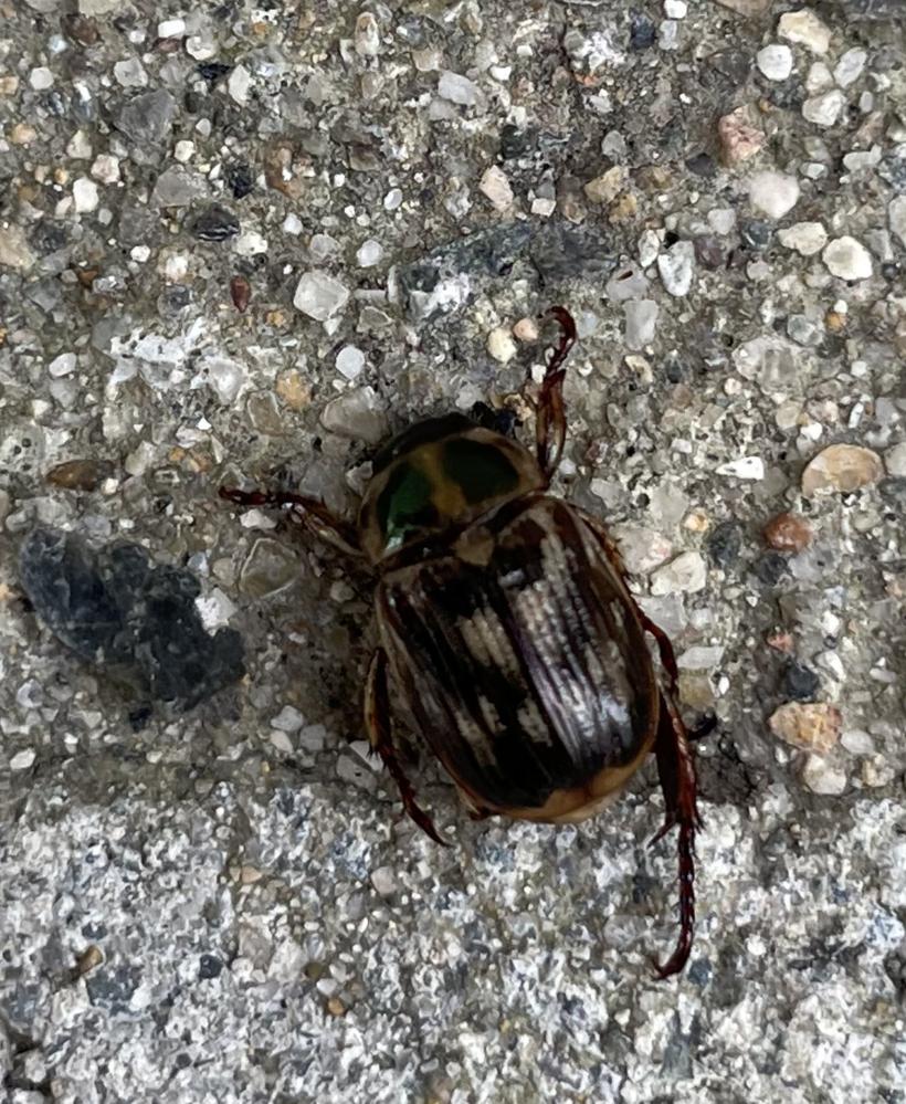 この虫何でしょうか? 庭で数匹飛んでました。 モリチャバネゴキブリの子供?? そのわりには触覚は短く、体は丸かったです。 調べてもわからず、おわかりになる方教えてください。