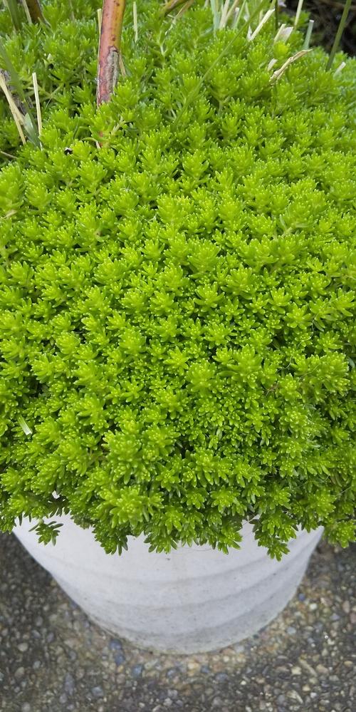 写真にある植物が、何かわかる方、ぜひ名前を教えてください。どんどん増えていってます。たぶんコケ類かもとは思ったのですが…