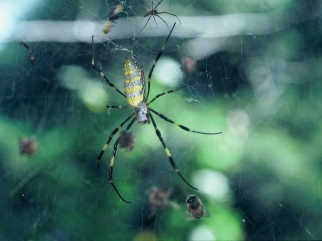 かわいい蜘蛛といえば何グモがいるでしょうか。 https://kids.yahoo.co.jp/zukan/animal/kind/invertebrate/0023.html