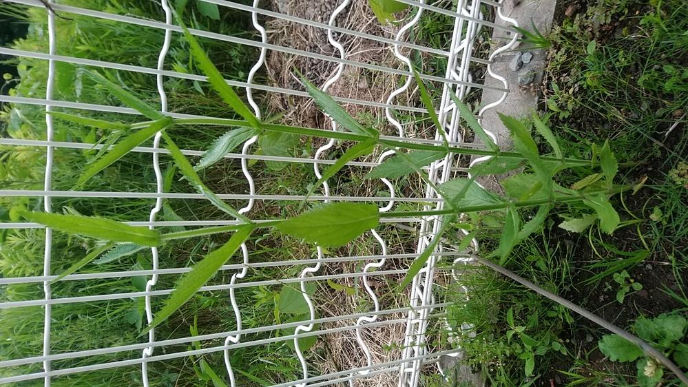 この植物の名前を教えて下さい。6月になって生えてきて、タバコ大くらいの大きさです。別の角度からの画像の質問もあげています。