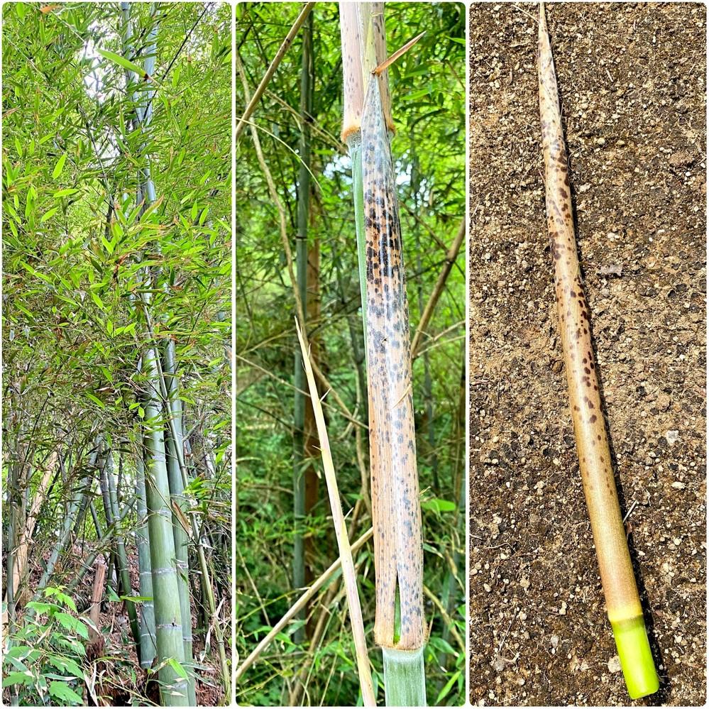 竹の種類を教えてください。