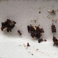 プランターの中に小さい虫がたくさんいました。。。 この虫はなんの幼虫でしょうか。  駆除するために何をすればいいでしょうか。