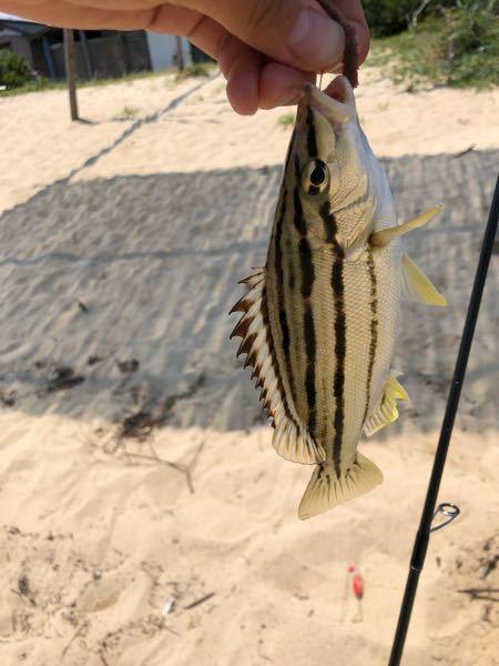 これはなんと言う魚ですか?先ほどキス釣りをしていると釣れましたが、種類がわかりません。教えてください