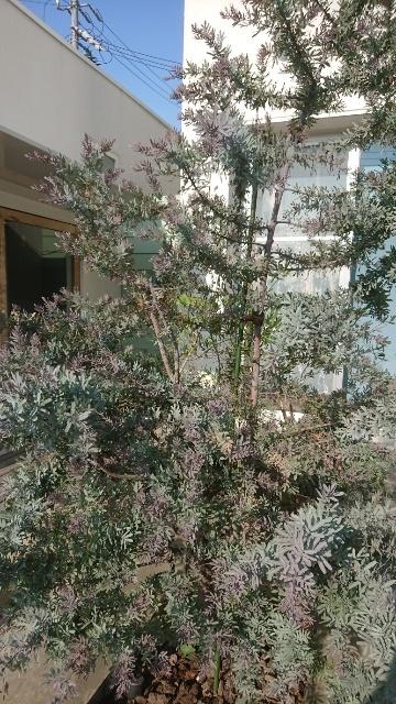 誰かこの木を知っている方いらっしゃいますか? 近所のお店の所にある木なのですが、お店の人に聞いてもわからなかったので教えてほしいのですが、 シルバーがかった葉っぱに くすんだ紫色の花が咲いていました。写真はすでに花が終わった状態です。 先端に10cmくらい細かな花がついていました。 花が咲いているときは、花の重みで枝が少し垂れている状態だった気がします。 わかる方がみえましたら、どうぞ宜しくお願いします。