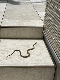 家の前に蛇が出没してテラスの隙間に逃げていきました。 毒蛇ではないかと心配しています。 蛇に詳しい方どのような蛇なのか教えてください。