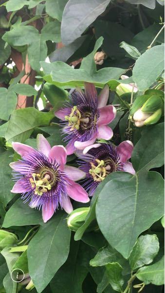 このお花な名前を教えて下さい。