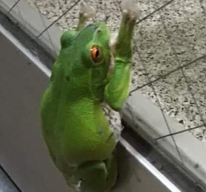 これ、なんてカエルなんでしょうか… 最近、近所でみかけると思ったら、窓にくっついてました…