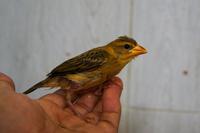 写真の鳥の種類は何ですか?  スズメくらいの大きさの小鳥です