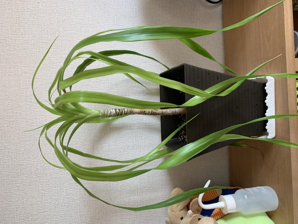 観葉植物の名前を教えて頂きたいです。職場で放置されていたものをもらって、鉢を大きくして今こんな感じです。 葉が長くて、下に付いてしまい葉先が茶色くなってしまっているところもあります。こういうものなんでしょうか。鉢をもっと大きくしたほうが良いのでしょうか。知識のあるかた、宜しくお願いいたします。
