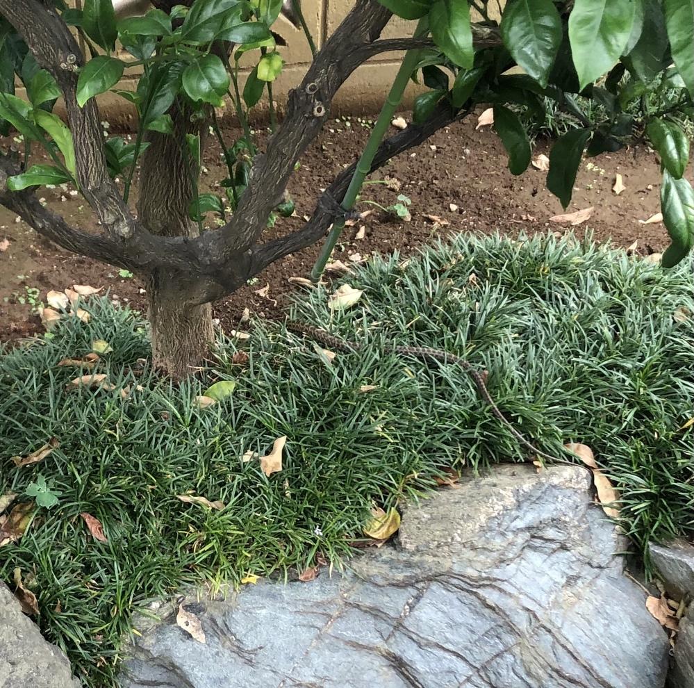 昨日 庭にいたのですが何ていう蛇でしょうか?80cm位で太さは2cm位でした 毒蛇でしょうか?