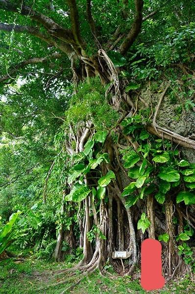 沖縄県のこの画像の木がある場所を知っていらっしゃる方がいましたら教えていただきたいです。 画像はネットから拾ったもので、南城市と書いてありました(^-^) 宜しくお願い致します。
