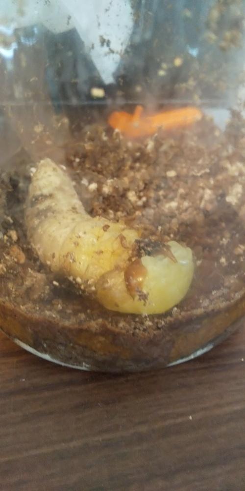 助けてください!!オオクワガタの幼虫がうまく脱皮できずに静止しています。 今朝、蛹室が壊れてしまっていたため人工蛹室にうつす等対策をしようと上部を掘っていると、ちょうど脱皮がはじまっていて、気門に白い筋が浮かんでいました。 ですが、頭がうまく脱げきれず、次第に動かなくなりました。 もう☆だろうなぁと埋めてあげる準備をしていたら、まだ瓶を揺らすと動いています!! 蛹化の開始を確認したのが10時で現在14時です。相変わらずほとんど動かないし、脱皮も進んでいません。 まだ助かりますか?? 脱皮を手伝うにはどうすればいいですか?