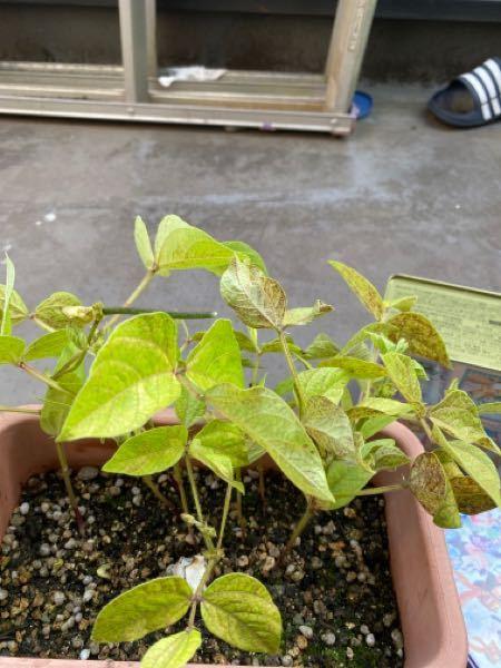植物に関しての質問です。 タンスから出てきた植物の種を植えて育てていたのですが、茶色い斑点が現れるようになりました。 そこで2つ質問があります。 1.茶色い斑点をなくすにはどうすれば良いでしょうか? 2.この植物の名前はなんでしょうか? もしわかる方がいれば、ご回答よろしくお願いいたします。