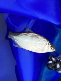 タナゴに詳しい方、よろしくお願い致します。  今日釣れたのですが、このタナゴはカネヒラ?でしょうか?