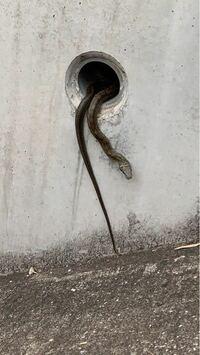 アパートの階段の壁の穴?に居たんですが、なんという蛇ですか?