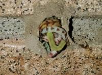 この幼虫はなんの幼虫ですか? ドロバチっぽいんですけどなにか分かりません。 知ってる方教えてください