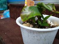 モンキーバナナ鉢植え栽培して4ケ月なって孫が3箇所少しずつ伸びて来てるけど、親の収穫まだまだですけど孫堀ても大丈夫ですか3箇所出てきてますがどうしたらいいですか