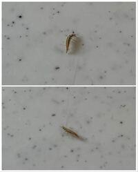 体長1センチぐらいのちいさな虫に出会ったのですが、何という名前なのか知りたいです。 足は6本生えていて、頭部に2本ツノのように見えるものが生えています。