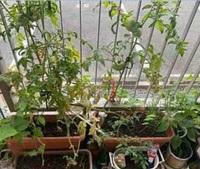 家庭菜園のキュウリとトマトの枯れた部分の葉は手でちぎって捨てたほうが良いですか?枯れた葉は、土に埋めても良いですか? 写真は画像が荒くてすみません。