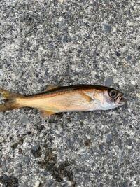 この魚何かわかる方いますか? 海で釣れました!