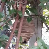 庭木に蜂の巣らしき物を見つけました。 大きさは目測で6、7センチ位です。 何の巣なのでしょうか? 詳しい方がいらっしゃいましたら、教えて下さいませんか?