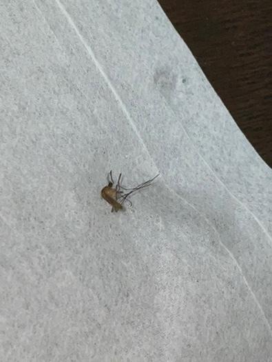 虫に詳しい方教えてください‼️ さっきブーンと言いながら飛んでる虫を仕留めました! 寝てる時に耳を刺されて真っ赤になって痒くなったので蚊かなと思ったのですが、腫れ方が異常なのでヤブ蚊かなと思っています。 大きさは0.8センチくらいで色は黒いです。 結構しぶとくてさっきフマキラーでやりましたり この写真を見た感じではこれはなんだと思いますか?