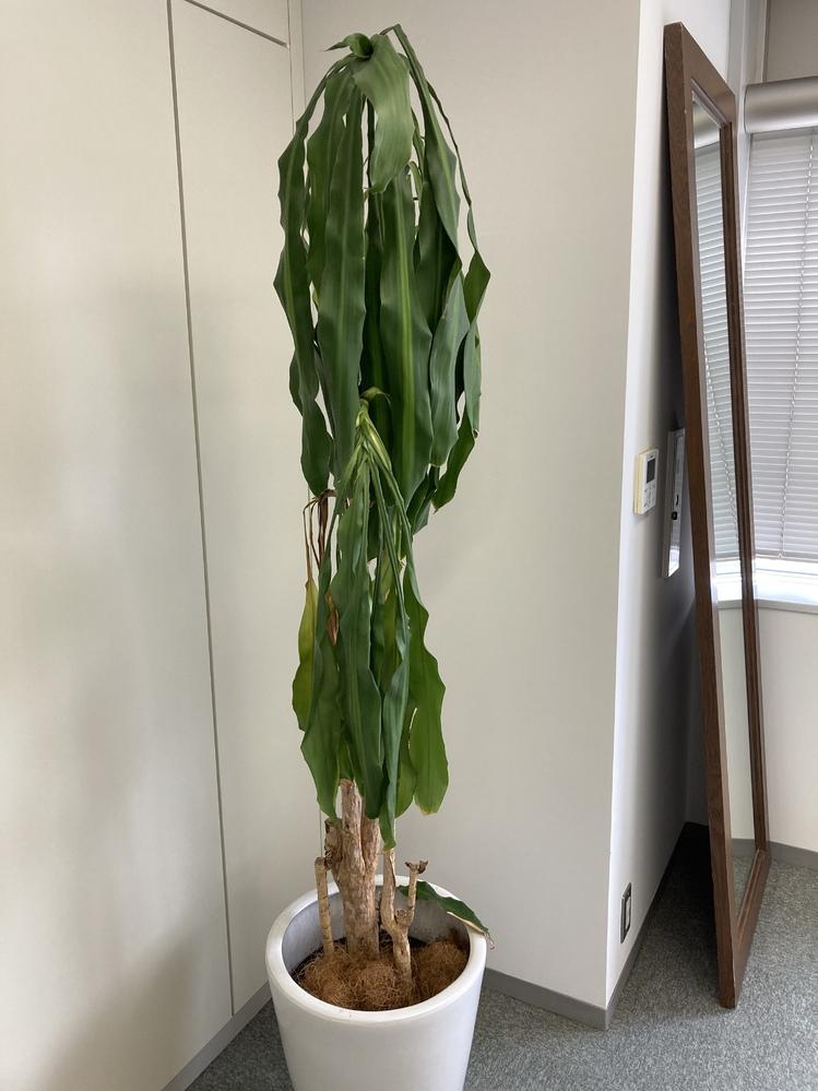 観葉植物 ドラセナ・マッサンゲアナについてお伺いしたいのですが、 [購入時期] 2018年9月頃 水遣りのみ週に3回ほどしておりましたが、 葉がどんどん長くなり、柳のようにしなっております。 思い切って、葉を切ってしまっても大丈夫なのでしょうか・・・ 色々調べてみると、剪定する必要があると書いてありましたが、 葉を切って、どんどん枯れてしまったらどうしようと思い、 投稿させていただきました。 植物に詳しいかたがいらっしゃいましたら、 教えていただけましたら幸いです! よろしくお願いいたします。