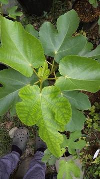 イチジクの葉っぱの症状について、原因を教えてください。葉っぱに斑模様のように濃淡の症状がでるようになりました。 育てている品種はビオレソリエスで、ほとんどの苗(10本)で症状がでています。バナーネでも1本、同様の症状を確認しました。症状は、木の上のほうの葉ででており、少しくるっと丸みを帯びるようになってしまいました。時期としては6月後半から7月にかけてです。 モザイク病も疑っていますが、可能...