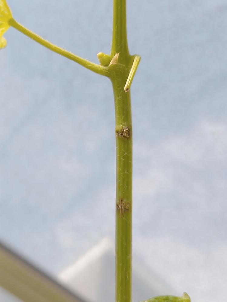 シャインマスカット1年目の先端の方の枝に、写真の様な虫が噛んだ様な後があったのですが、何が考えられますか?枝を切った方がいいでしょうか