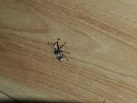 この虫って害虫? コクゾウムシとカツオブシムシを合わせたような虫です。