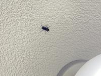 虫の駆除方法 写真あります観覧注意です。  気づいたら部屋の天井の電気の近くにいたんですが…この虫ってGくんですかね?小さいんですが… 天井にいる虫の駆除方法を教えてもらいたいです。。よろしくお願いいたします。