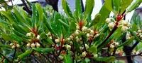 まだ蕾ですが何という植物でしょうか? 咲くと1cmくらいの五弁の花が咲きます。