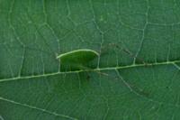 これはヒメクダマキモドキ、サトクダマキモドキどちらの幼虫でしょうか?あるいは別の幼虫でしょうか? 何が見分け方が有れば教えていただきたいてす。  よろしくお願いいたします。