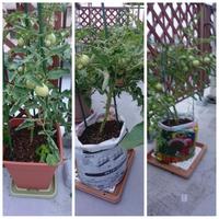プチトマトが赤くなりません。どうしたらよいでしょうか? 毎年、プチトマトをベランダで育てています。今年は、色々の鉢や袋栽培をしています。 実はたくさんなりましたが、なかなか赤くなりません(写真参照)。一時尻腐れを起こし、カルシウム不足とのことで肥料をやりましたが、尻腐れは無くなったようですが、赤くなりません。何か対策の方法を教えていただけませんか?