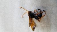 蜂の種類が分からないので、危険かどうかも分かりません。 石垣の中に巣があるようで、羽音は小さいです。体調は2cm位。 胴体は真っ黒で縞模様は無し。羽、足、触覚はべっこう色(写真参照)